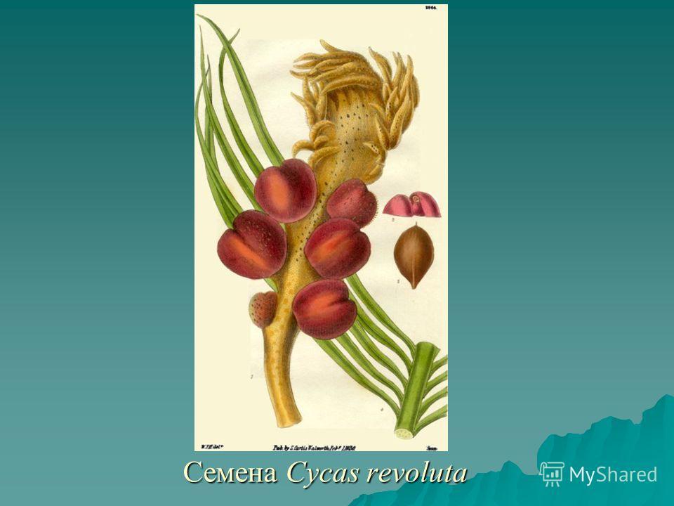 Семена Cycas revoluta Семена Cycas revoluta