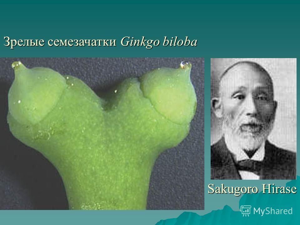 Зрелые семезачатки Ginkgo biloba Sakugoro Hirase