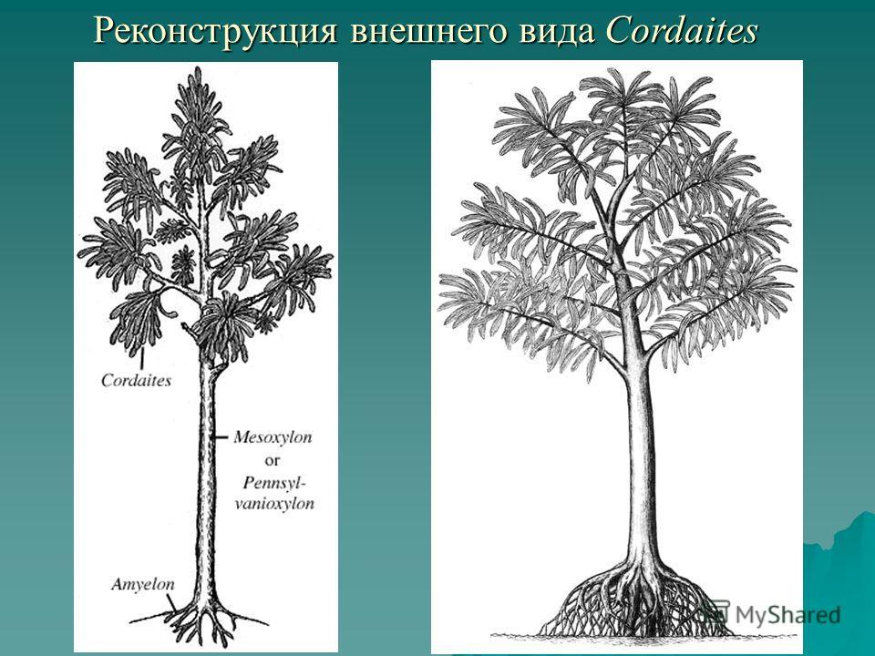 Реконструкция внешнего вида Cordaites