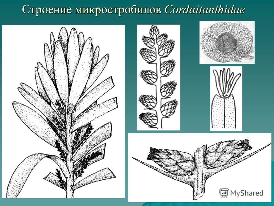 Строение микростробилов Cordaitanthidae