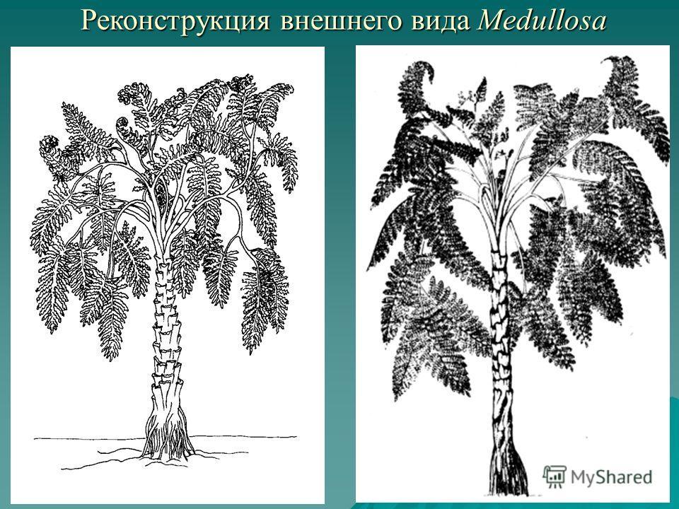Реконструкция внешнего вида Medullosa