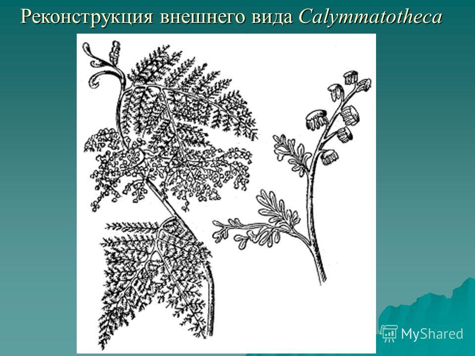 Реконструкция внешнего вида Calymmatotheca