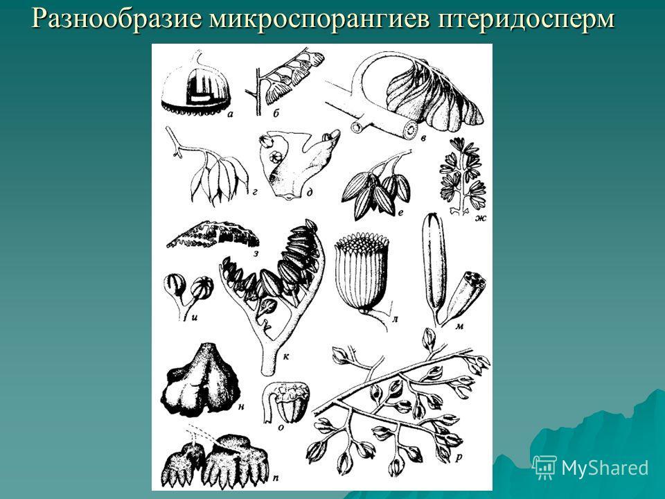Разнообразие микроспорангиев птеридосперм