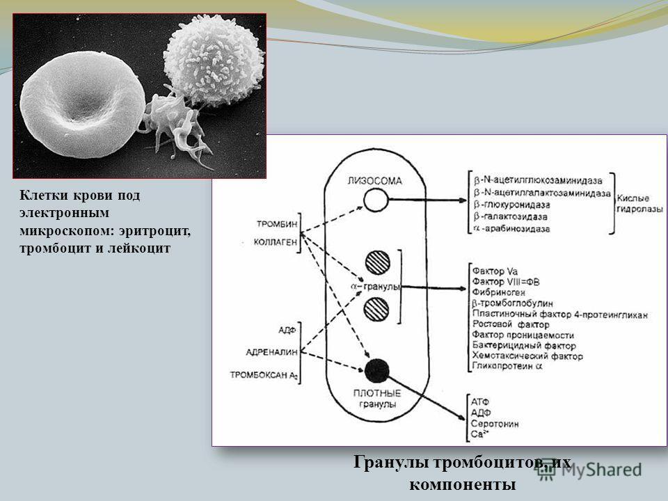 Клетки крови под электронным микроскопом: эритроцит, тромбоцит и лейкоцит Гранулы тромбоцитов, их компоненты