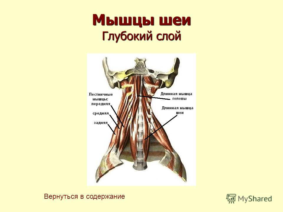 Мышцы шеи Глубокий слой Вернуться в содержание