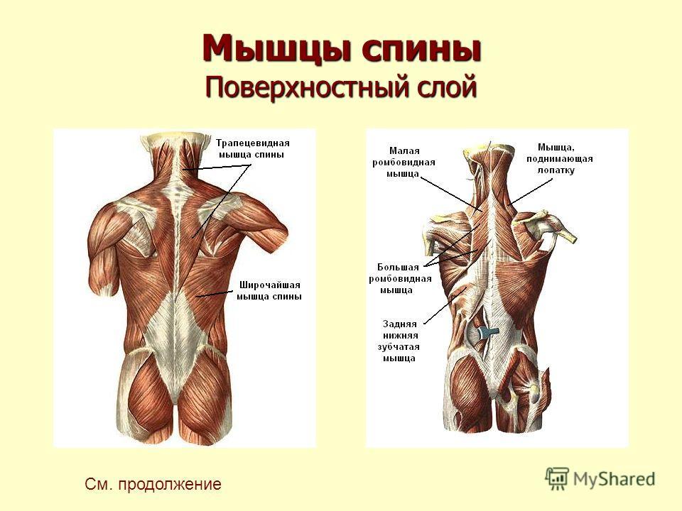 Мышцы спины Поверхностный слой См. продолжение