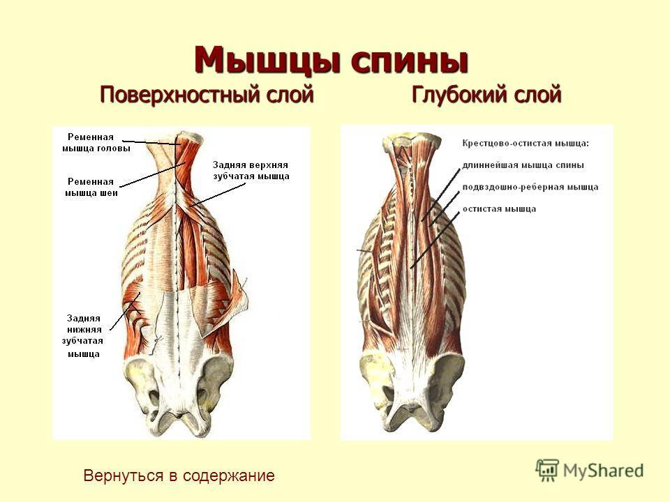 Мышцы спины Поверхностный слой Глубокий слой Вернуться в содержание