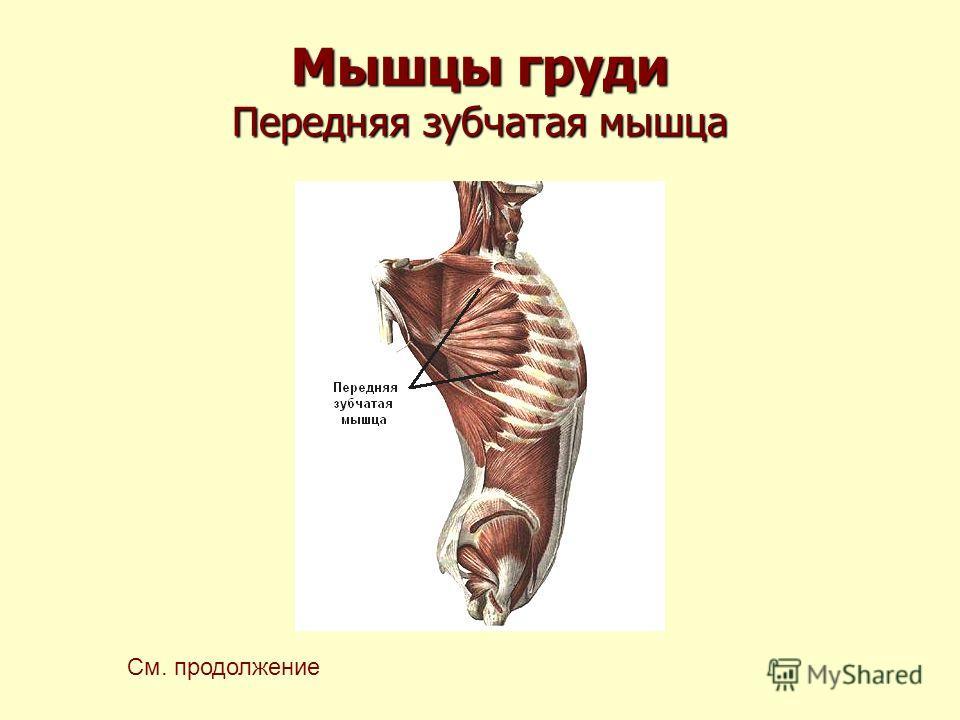 Мышцы груди Передняя зубчатая мышца См. продолжение