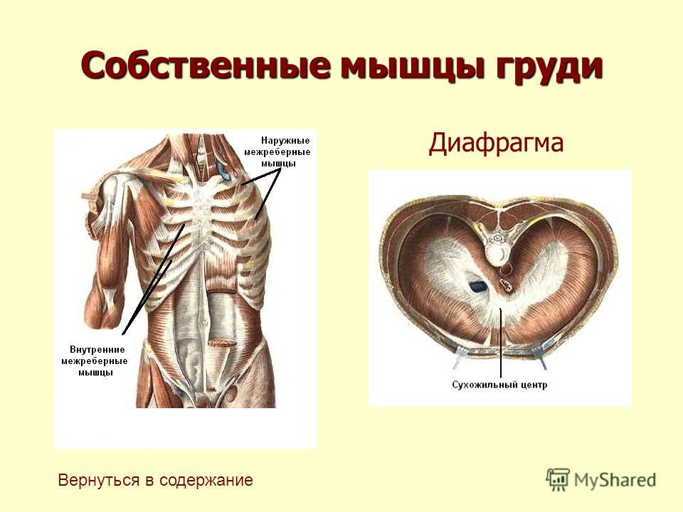 Собственные мышцы груди Вернуться в содержание Диафрагма