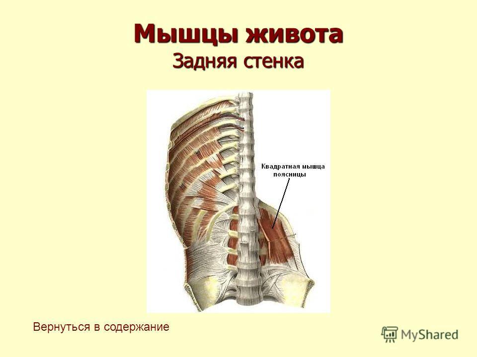 Мышцы живота Задняя стенка Вернуться в содержание
