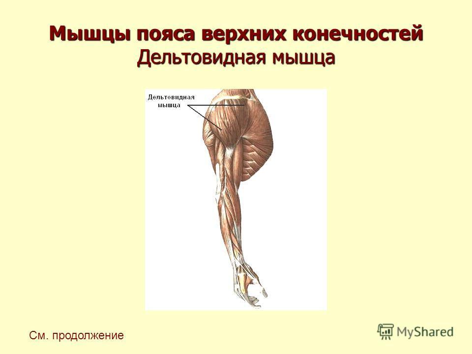 Мышцы пояса верхних конечностей Дельтовидная мышца См. продолжение