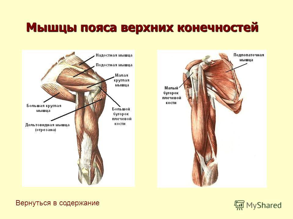 Мышцы пояса верхних конечностей Вернуться в содержание