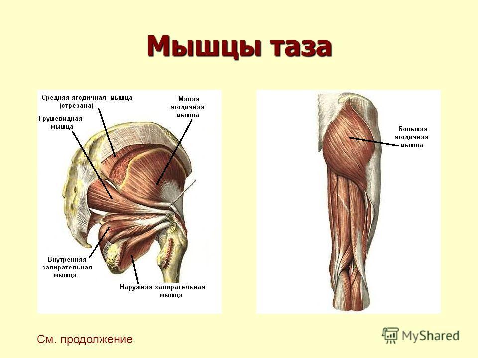 Мышцы таза См. продолжение