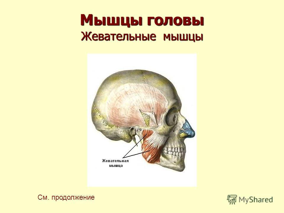 Мышцы головы Жевательные мышцы См. продолжение