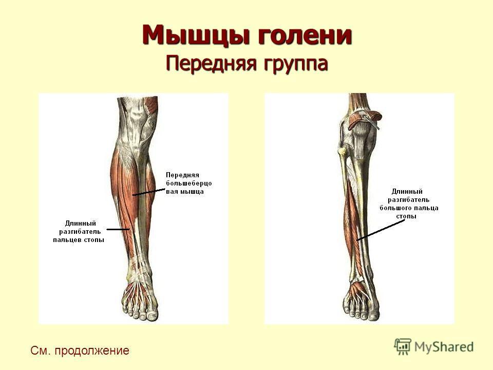 Мышцы голени Передняя группа См. продолжение