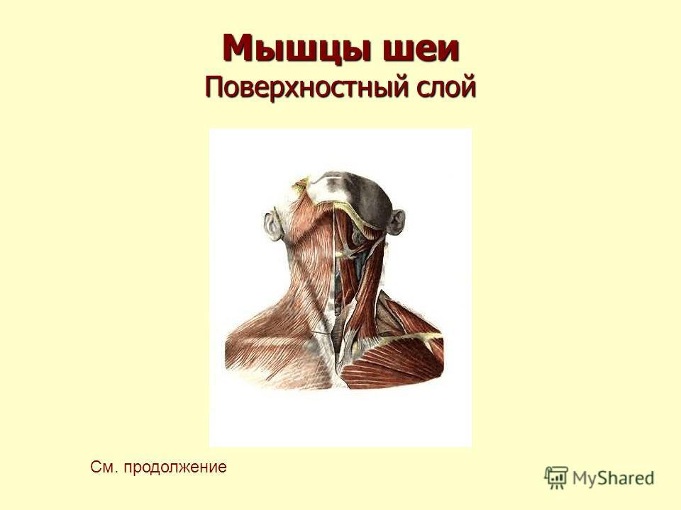 Мышцы шеи Поверхностный слой См. продолжение