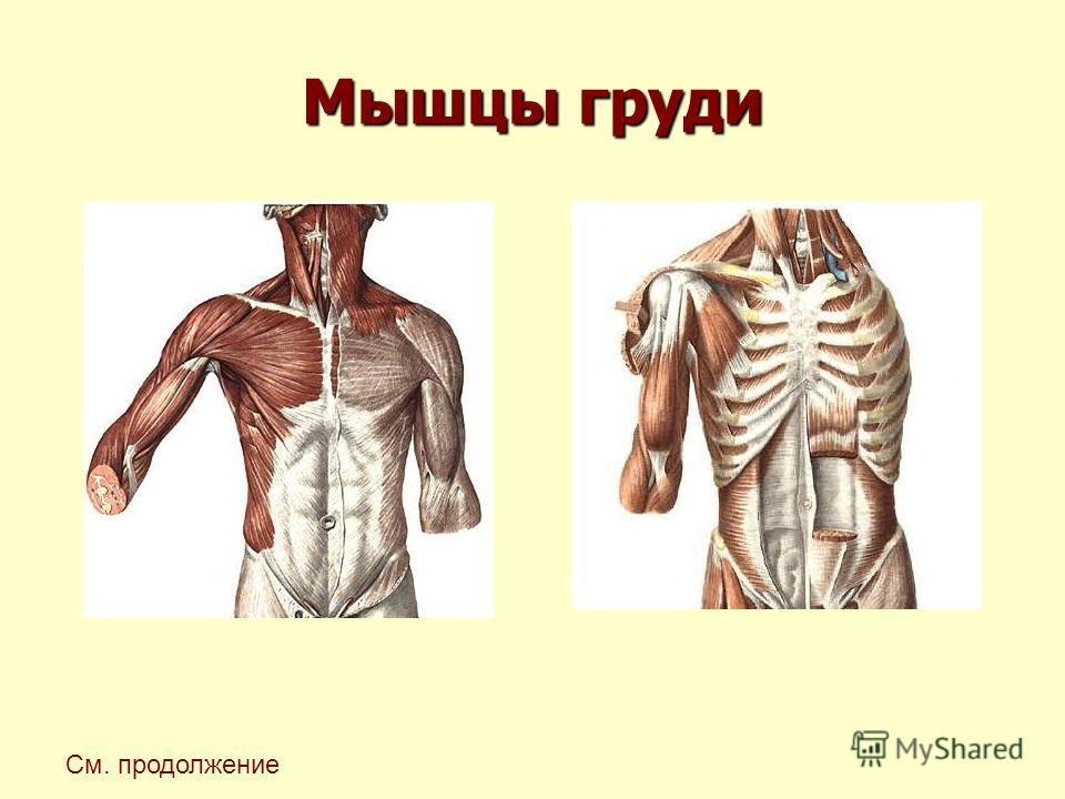 Мышцы груди См. продолжение