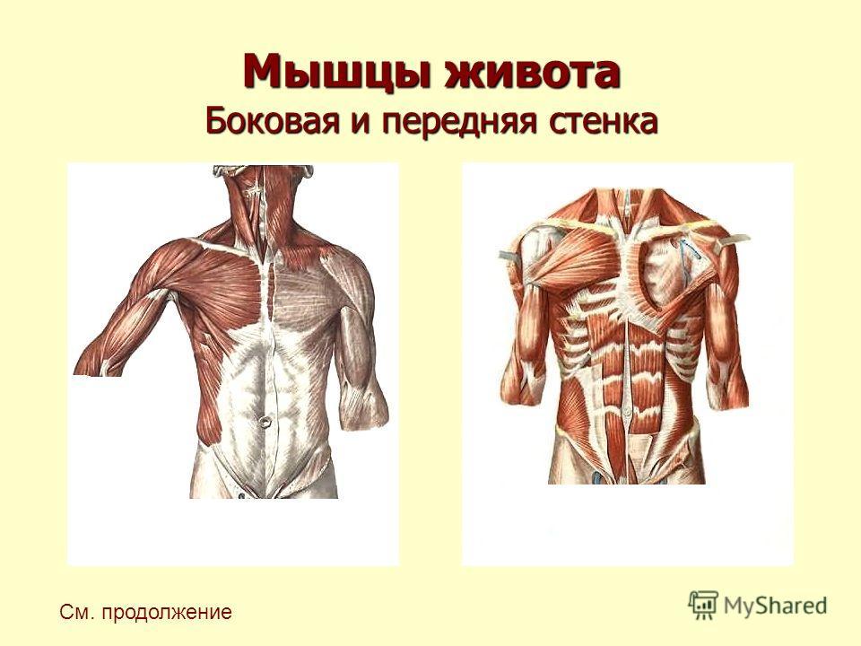 Мышцы живота Боковая и передняя стенка См. продолжение