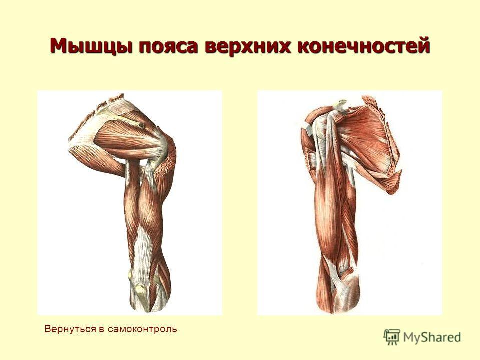 Мышцы пояса верхних конечностей Вернуться в самоконтроль