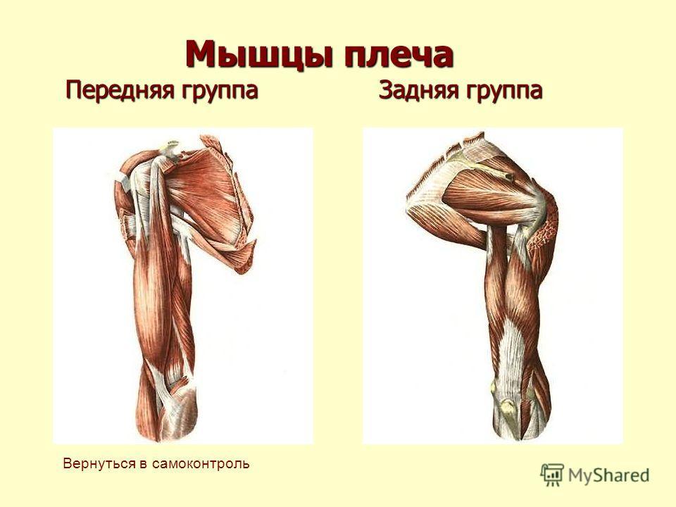 Мышцы плеча Передняя группа Задняя группа Мышцы плеча Передняя группа Задняя группа Вернуться в самоконтроль