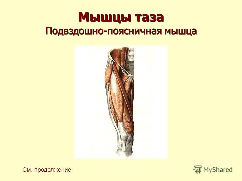 Мышцы таза Подвздошно-поясничная мышца См. продолжение