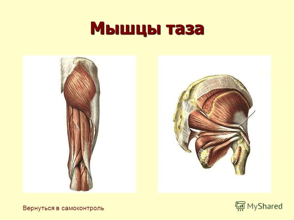 Мышцы таза Вернуться в самоконтроль