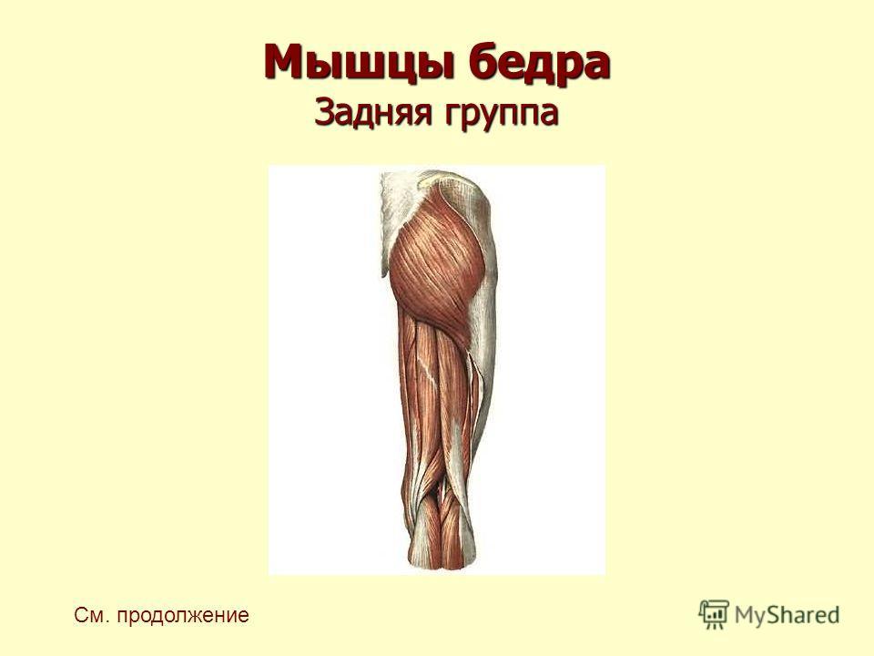 Мышцы бедра Задняя группа См. продолжение