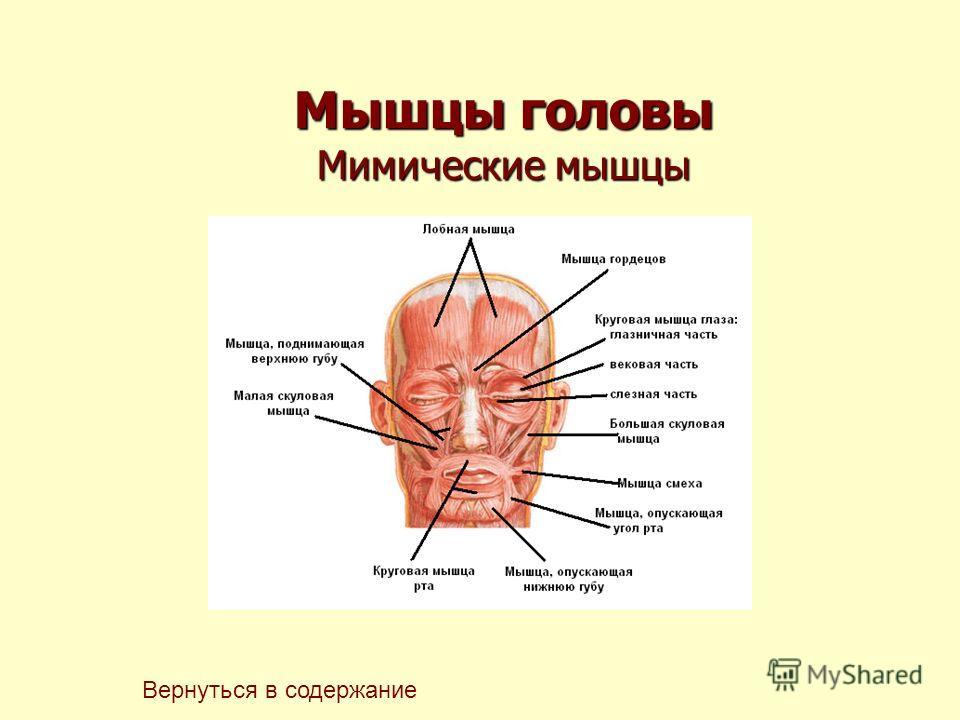 Мышцы головы Мимические мышцы Вернуться в содержание