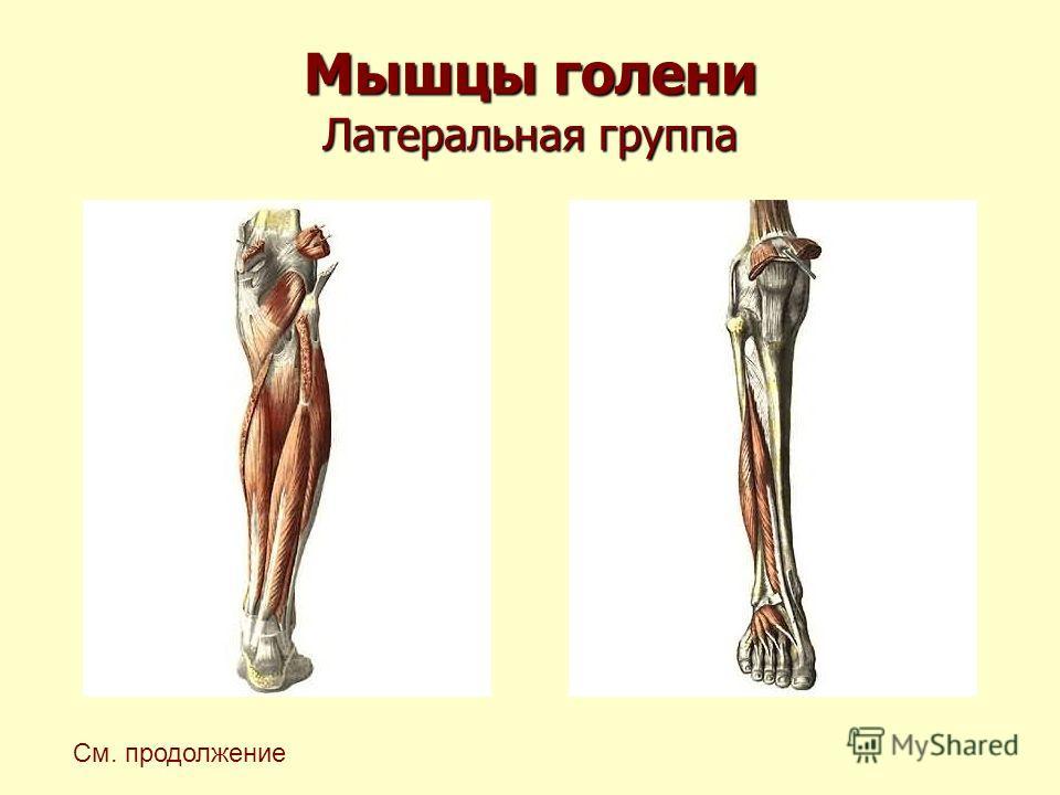 Мышцы голени Латеральная группа См. продолжение