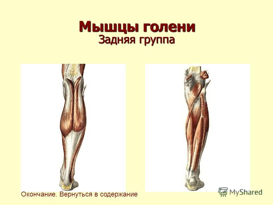Мышцы голени Задняя группа Окончание. Вернуться в содержание