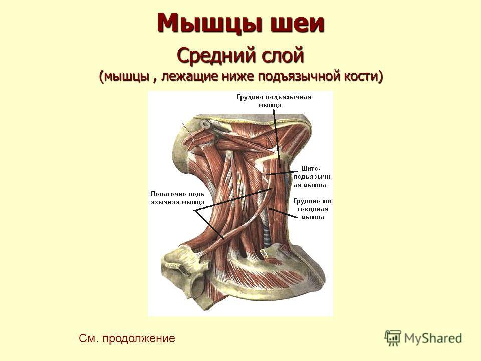 Мышцы шеи Средний слой (мышцы, лежащие ниже подъязычной кости) См. продолжение