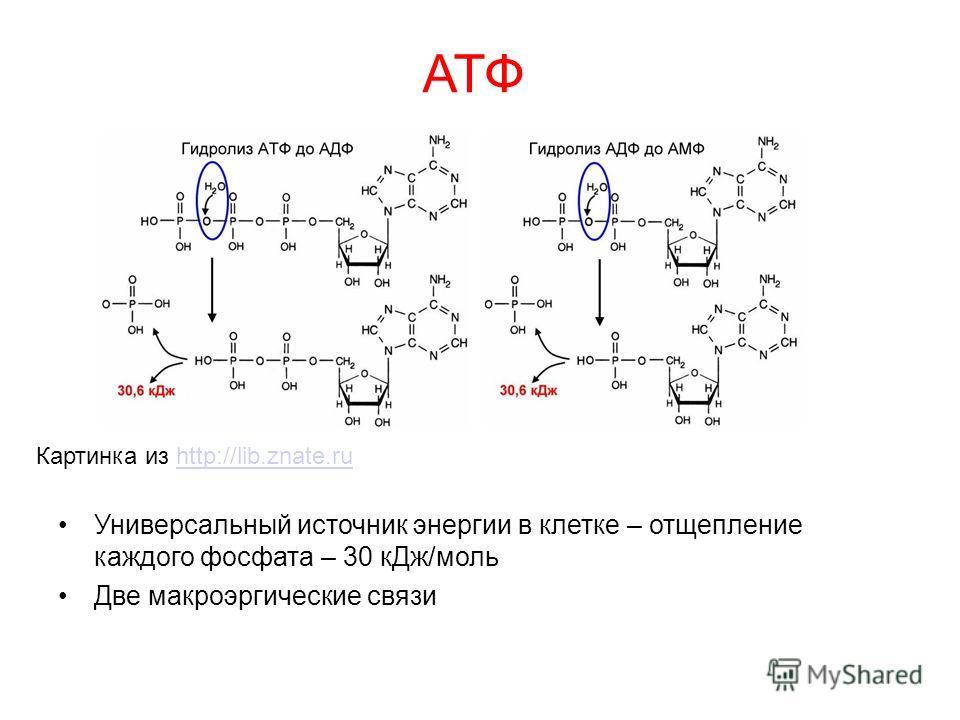 АТФ Универсальный источник энергии в клетке – отщепление каждого фосфата – 30 кДж/моль Две макроэргические связи Картинка из http://lib.znate.ruhttp://lib.znate.ru