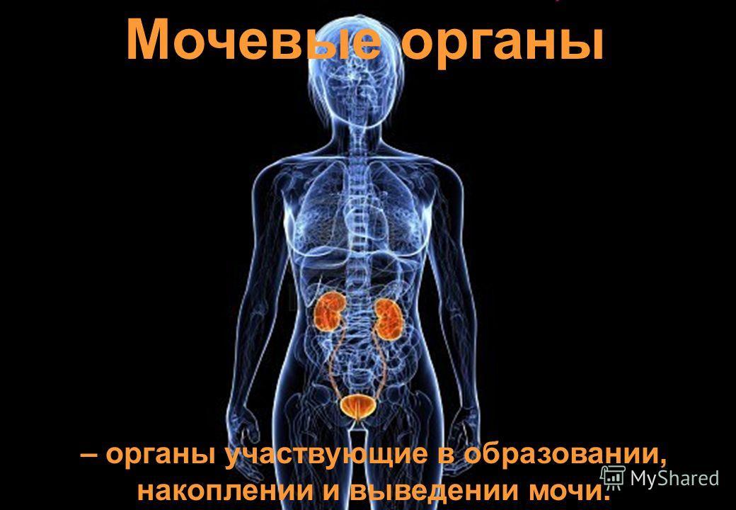 Мочевые органы – органы участвующие в образовании, накоплении и выведении мочи.