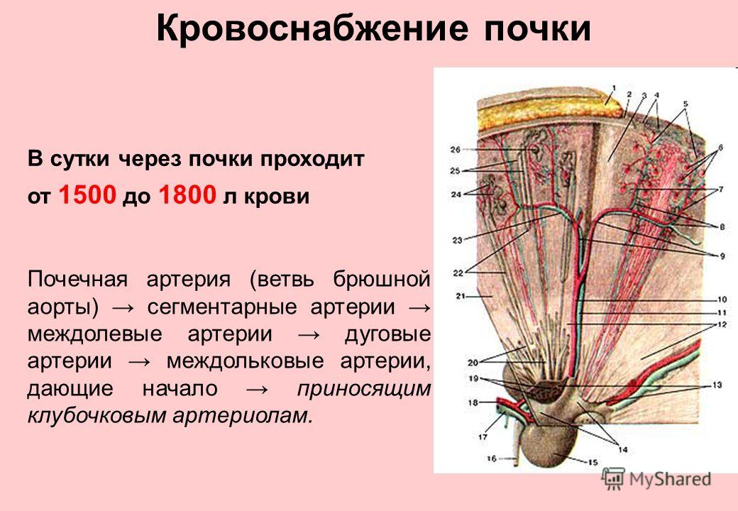 Кровоснабжение почки В сутки через почки проходит от 1500 до 1800 л крови Почечная артерия (ветвь брюшной аорты) сегментарные артерии междолевые артерии дуговые артерии междольковые артерии, дающие начало приносящим клубочковым артериолам.