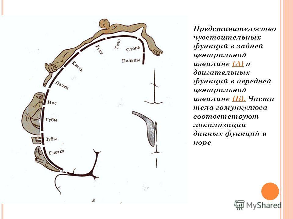 Представительство чувствительных функций в задней центральной извилине (А) и двигательных функций в передней центральной извилине (Б). Части тела гомункулюса соответствуют локализации данных функций в коре(А)(Б).