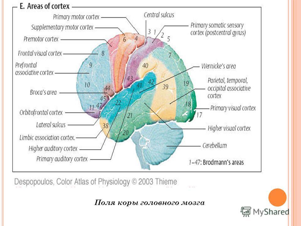 Поля коры головного мозга