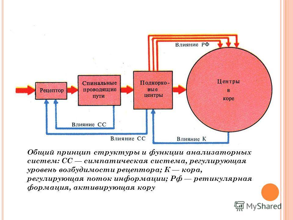 Общий принцип структуры и функции анализаторных систем: СС симпатическая система, регулирующая уровень возбудимости рецептора; К кора, регулирующая поток информации; Рф ретикулярная формация, активирующая кору