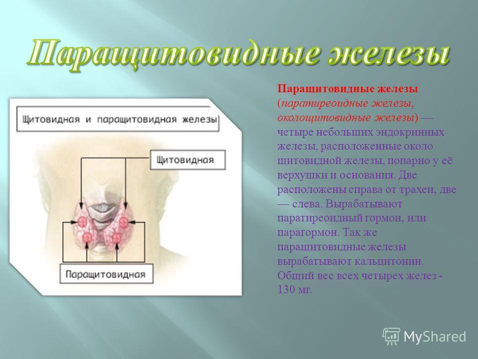 Паращитовидные железы ( паратиреоидные железы, околощитовидные железы ) четыре небольших эндокринных железы, расположенные около щитовидной железы, попарно у её верхушки и основания. Две расположены справа от трахеи, две слева. Вырабатывают паратирео