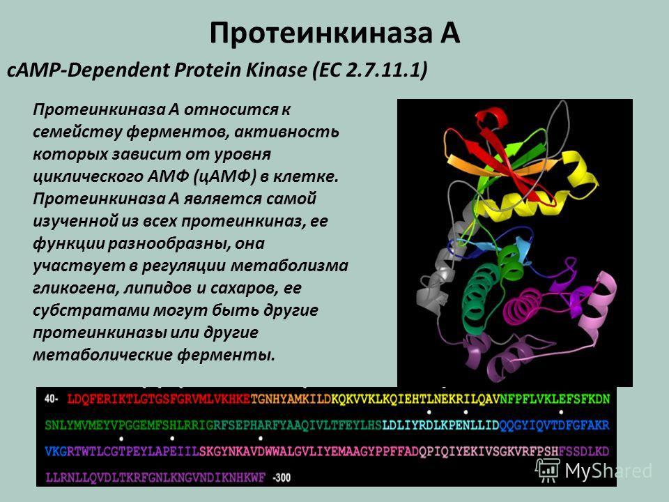 Протеинкиназа А cAMP-Dependent Protein Kinase (EC 2.7.11.1) Протеинкиназа А относится к семейству ферментов, активность которых зависит от уровня циклического АМФ (цАМФ) в клетке. Протеинкиназа А является самой изученной из всех протеинкиназ, ее функ