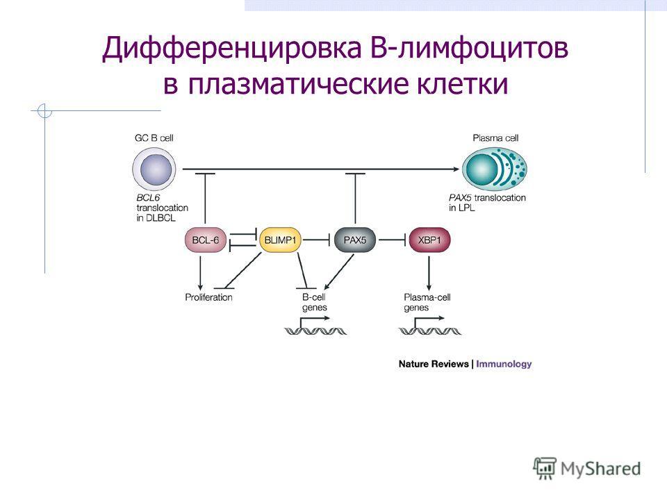 Дифференцировка В-лимфоцитов в плазматические клетки