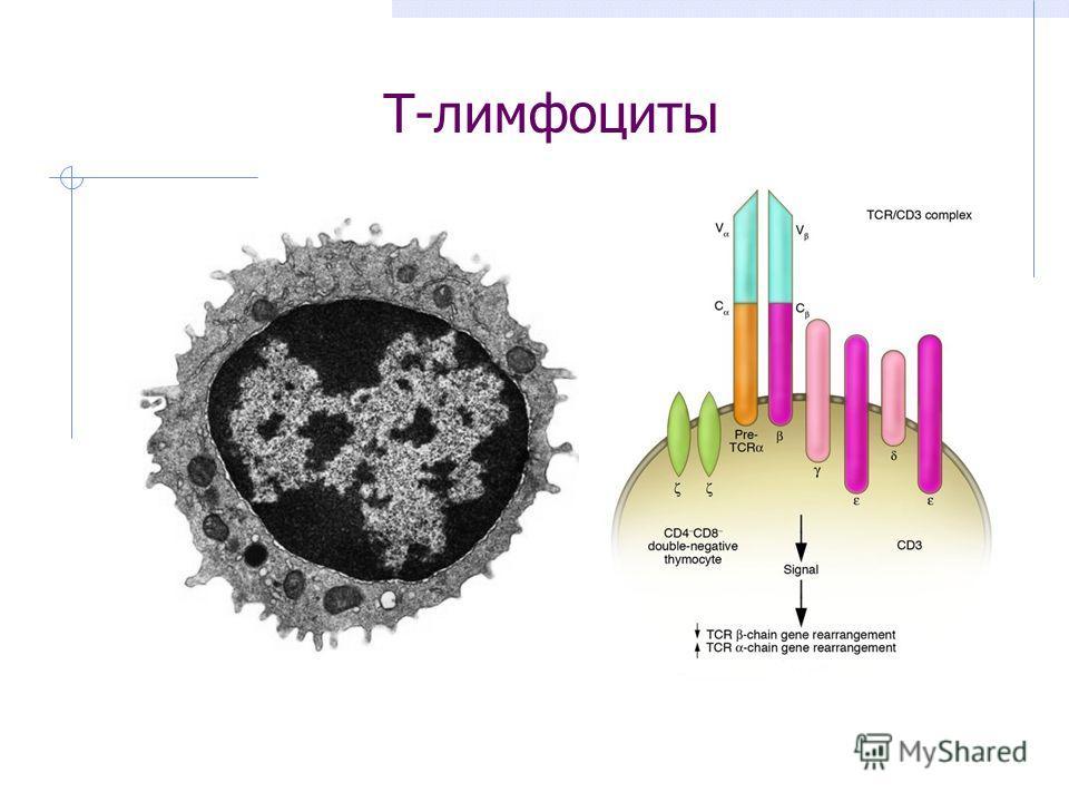 Т-лимфоциты