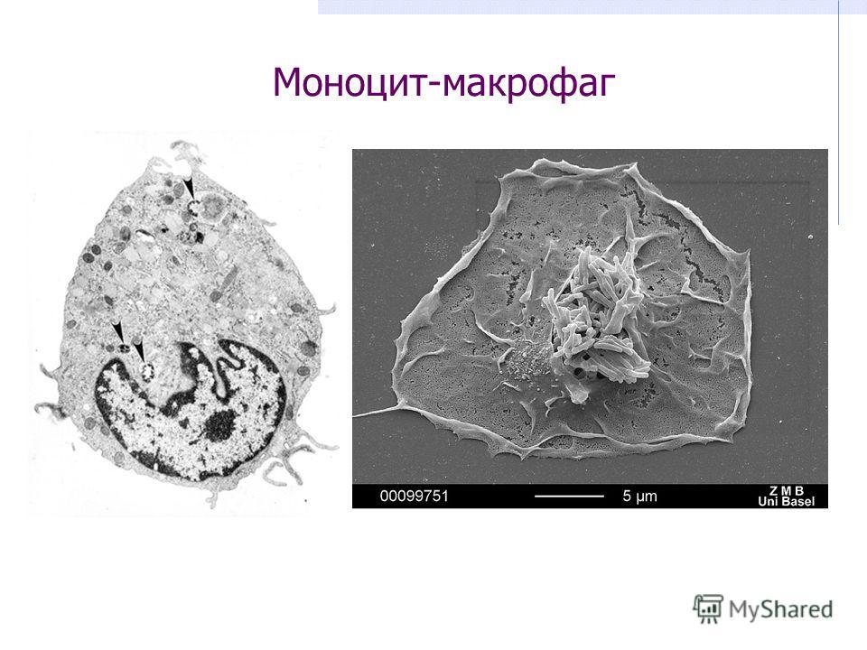 Моноцит-макрофаг