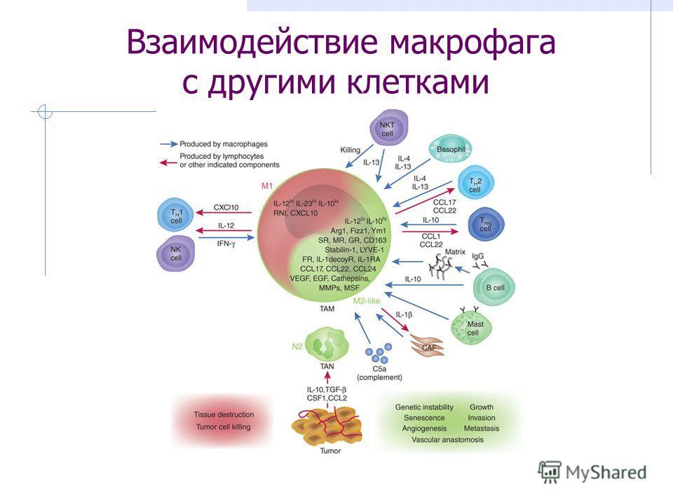 Взаимодействие макрофага с другими клетками