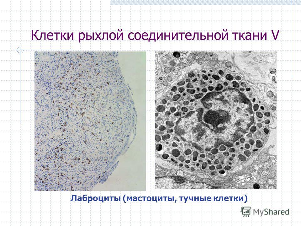 Клетки рыхлой соединительной ткани V Лаброциты (мастоциты, тучные клетки)