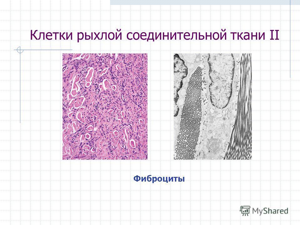 Клетки рыхлой соединительной ткани II Фиброциты