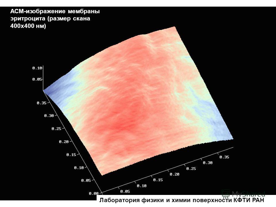 АСМ-изображение мембраны эритроцита (размер скана 400х400 нм) Лаборатория физики и химии поверхности КФТИ РАН