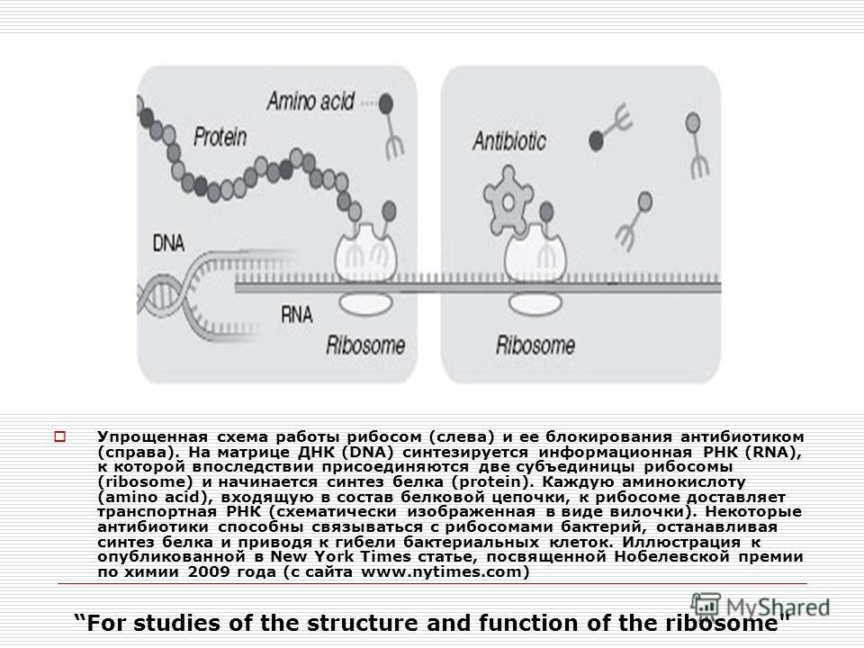 Упрощенная схема работы рибосом (слева) и ее блокирования антибиотиком (справа). На матрице ДНК (DNA) синтезируется информационная РНК (RNA), к которой впоследствии присоединяются две субъединицы рибосомы (ribosome) и начинается синтез белка (protein
