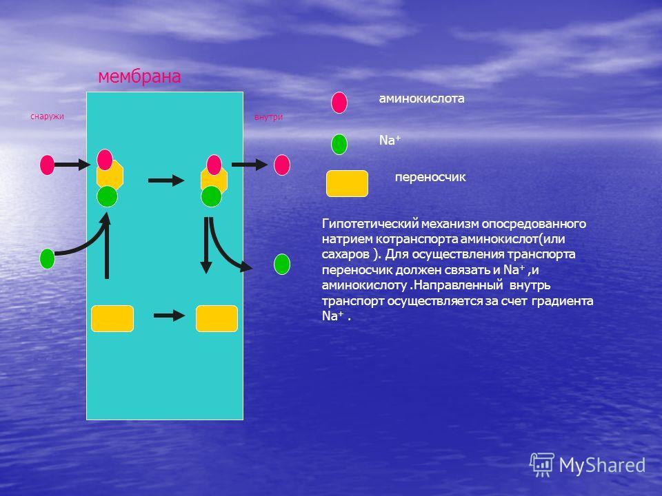 снаружи мембрана внутри аминокислота Na + переносчик Гипотетический механизм опосредованного натрием котранспорта аминокислот(или сахаров ). Для осуществления транспорта переносчик должен связать и Na +,и аминокислоту.Направленный внутрь транспорт ос