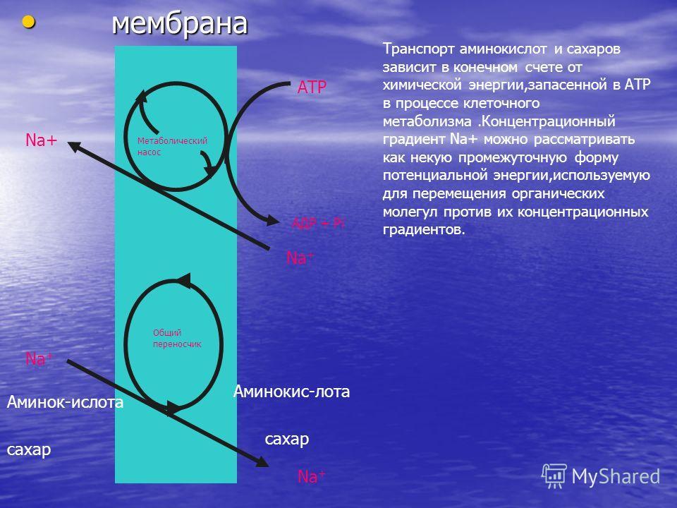 мембрана мембрана Метаболический насос АТР АДР + Рi Na + Общий переносчик Na + Аминок-ислота сахар Na + Аминокис-лота сахар Транспорт аминокислот и сахаров зависит в конечном счете от химической энергии,запасенной в АТР в процессе клеточного метаболи