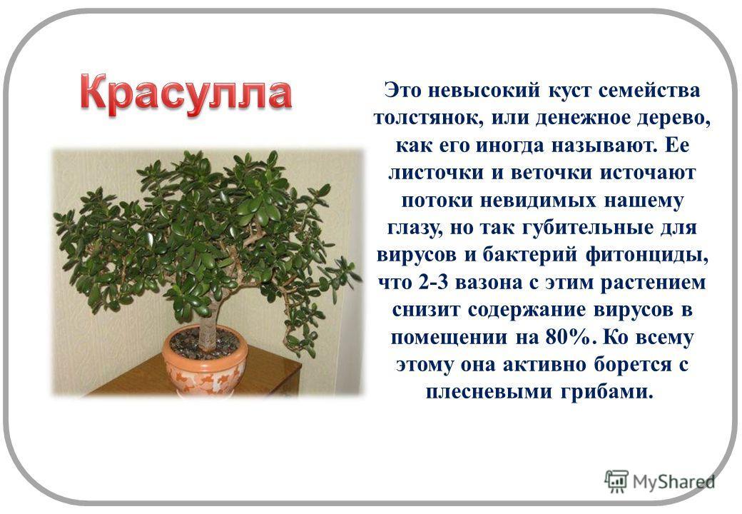 Это невысокий куст семейства толстянок, или денежное дерево, как его иногда называют. Ее листочки и веточки источают потоки невидимых нашему глазу, но так губительные для вирусов и бактерий фитонциды, что 2-3 вазона с этим растением снизит содержание